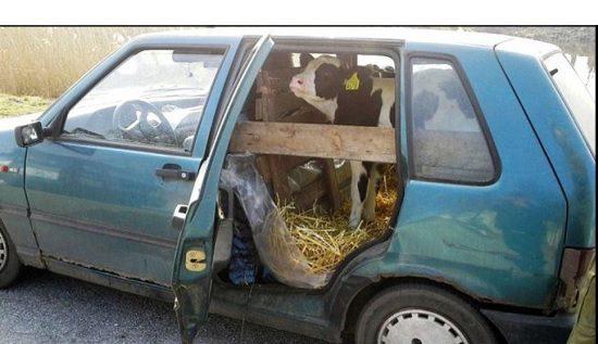Fiat Uno met kalf